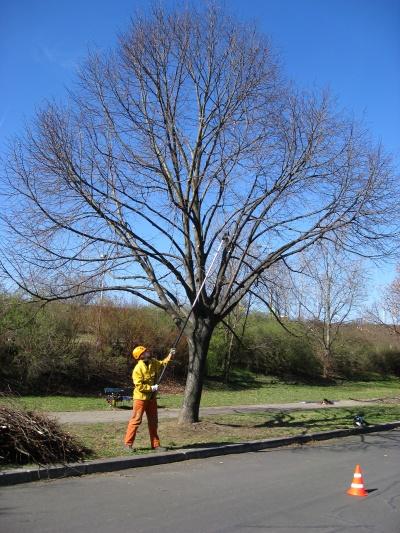 Prořezávání stromu u cesty