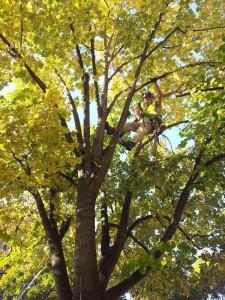 ořez stromu