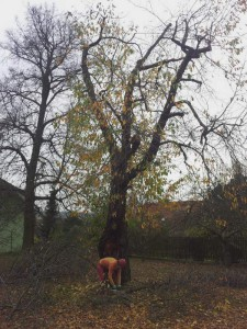 prořezaná třešeň