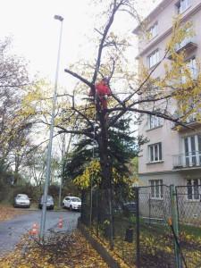 kácení třešně u plotu