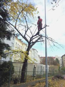 redukce obvodu koruny stromu