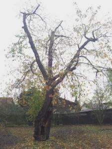 redukovaná třešeň
