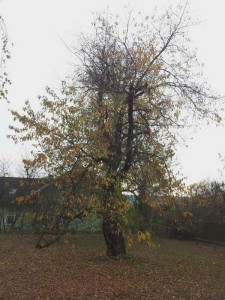 stará třešeň před zásahem