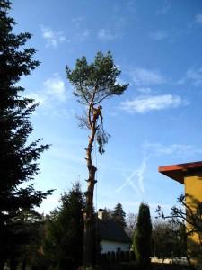 rizikové kácení borovice